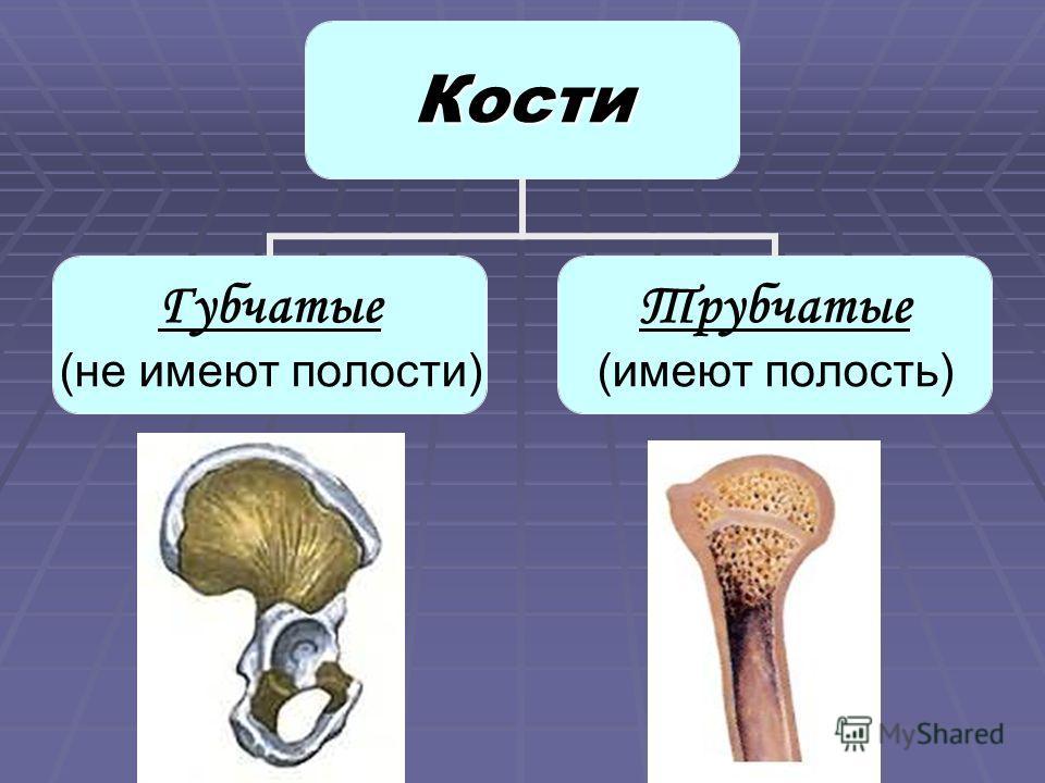 Кости Губчатые (не имеют полости) Трубчатые (имеют полость)