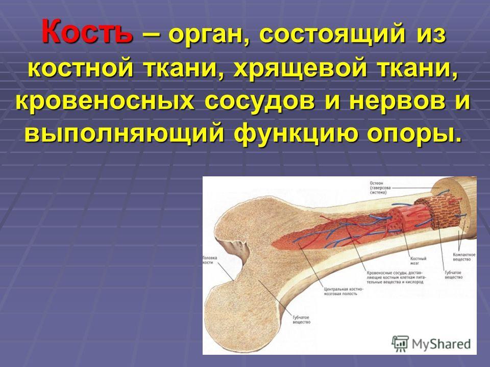 Кость – орган, состоящий из костной ткани, хрящевой ткани, кровеносных сосудов и нервов и выполняющий функцию опоры.