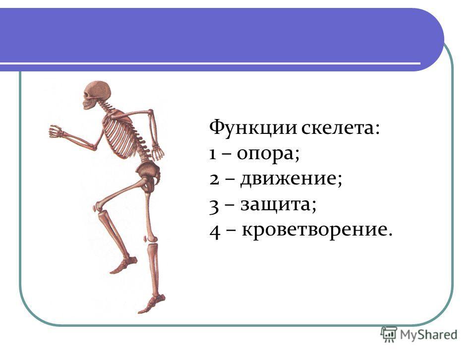 Функции скелета: 1 – опора; 2 – движение; 3 – защита; 4 – кроветворение.