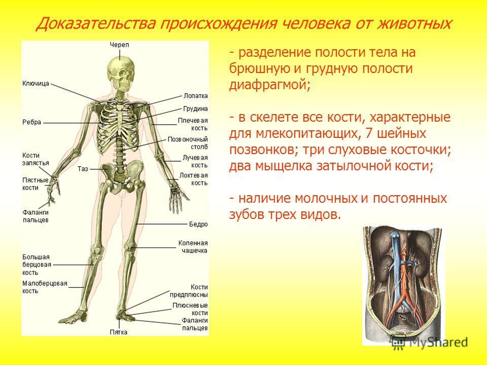 - разделение полости тела на брюшную и грудную полости диафрагмой; - в скелете все кости, характерные для млекопитающих, 7 шейных позвонков; три слуховые косточки; два мыщелка затылочной кости; - наличие молочных и постоянных зубов трех видов. Доказа