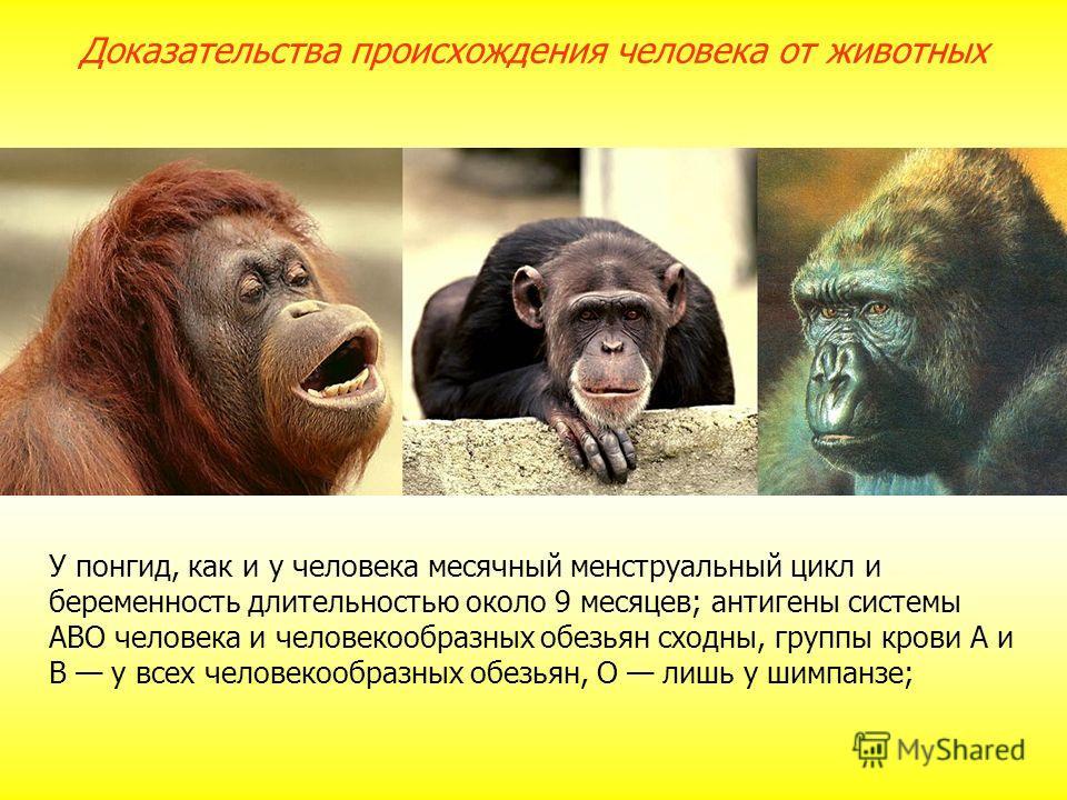 У понгид, как и у человека месячный менструальный цикл и беременность длительностью около 9 месяцев; антигены системы АВО человека и человекообразных обезьян сходны, группы крови А и В у всех человекообразных обезьян, О лишь у шимпанзе; Доказательств
