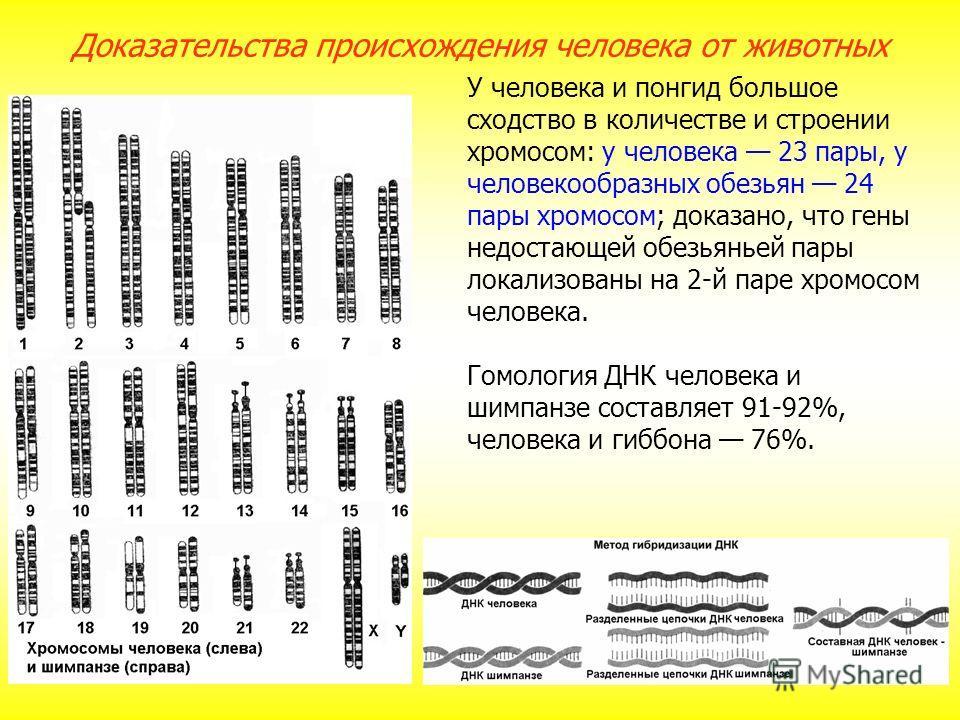 У человека и понгид большое сходство в количестве и строении хромосом: у человека 23 пары, у человекообразных обезьян 24 пары хромосом; доказано, что гены недостающей обезьяньей пары локализованы на 2-й паре хромосом человека. Гомология ДНК человека
