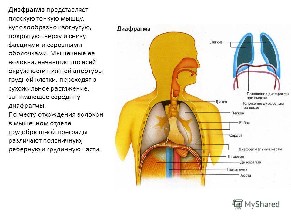 Диафрагма представляет плоскую тонкую мышцу, куполообразно изогнутую, покрытую сверху и снизу фасциями и серозными оболочками. Мышечные ее волокна, начавшись по всей окружности нижней апертуры грудной клетки, переходят в сухожильное растяжение, заним
