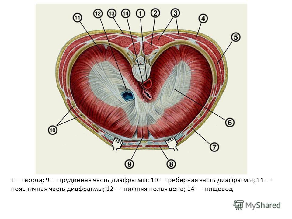 1 аорта; 9 грудинная часть диафрагмы; 10 реберная часть диафрагмы; 11 поясничная часть диафрагмы; 12 нижняя полая вена; 14 пищевод