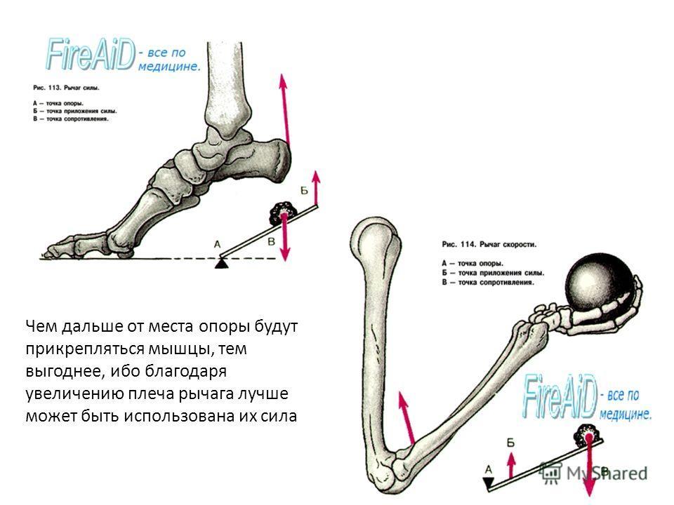 Чем дальше от места опоры будут прикрепляться мышцы, тем выгоднее, ибо благодаря увеличению плеча рычага лучше может быть использована их сила