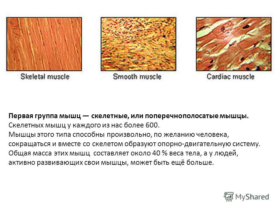 Первая группа мышц скелетные, или поперечнополосатые мышцы. Скелетных мышц у каждого из нас более 600. Мышцы этого типа способны произвольно, по желанию человека, сокращаться и вместе со скелетом образуют опорно-двигательную систему. Общая масса этих