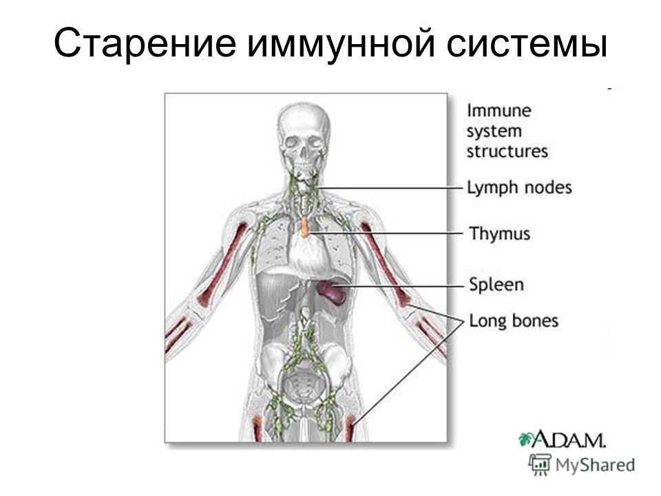 Старение иммунной системы