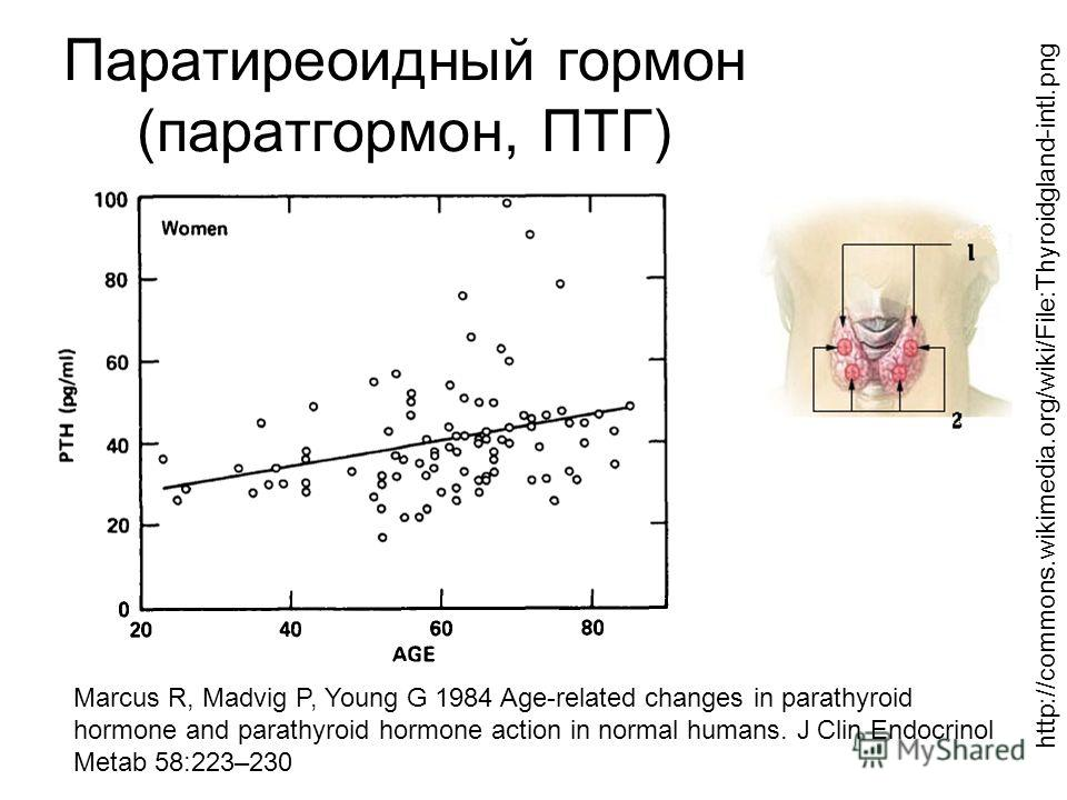 Паратиреоидный гормон (паратгормон, ПТГ) Marcus R, Madvig P, Young G 1984 Age-related changes in parathyroid hormone and parathyroid hormone action in normal humans. J Clin Endocrinol Metab 58:223–230 http://commons.wikimedia.org/wiki/File:Thyroidgla