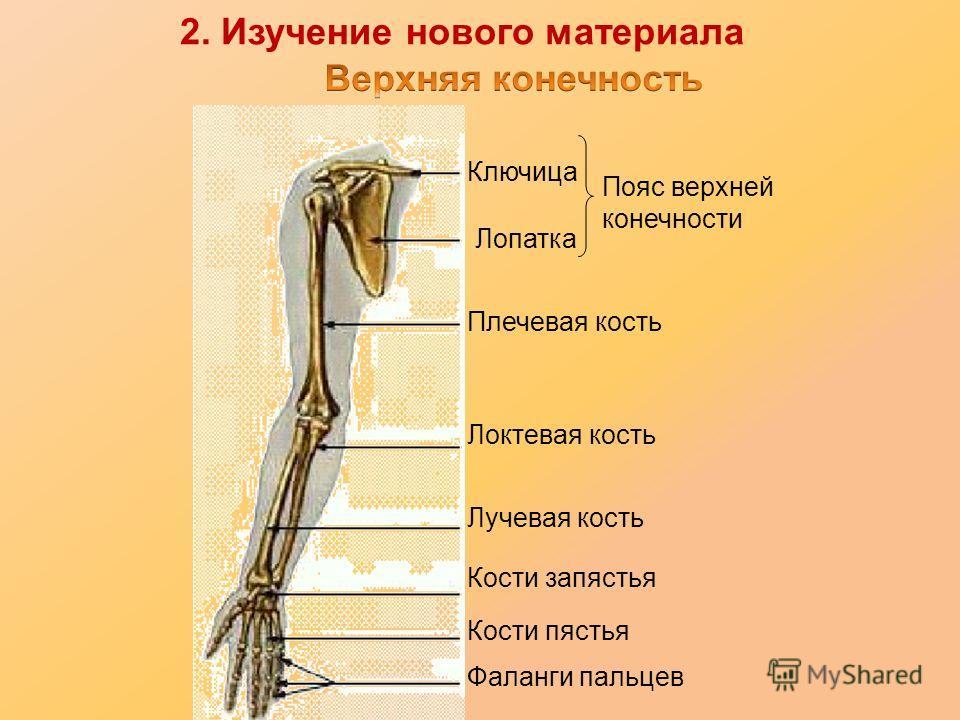 Ключица Лопатка Плечевая кость Локтевая кость Лучевая кость Кости запястья Кости пястья Фаланги пальцев Пояс верхней конечности 2. Изучение нового материала