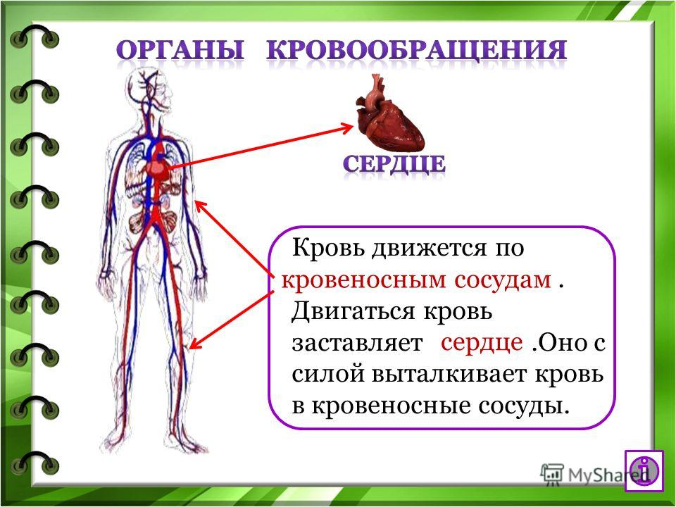 Кровь движется по. Двигаться кровь заставляет.Оно с силой выталкивает кровь в кровеносные сосуды. кровеносным сосудам сердце