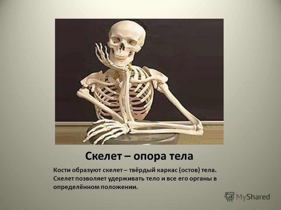 Скелет – опора тела Кости образуют скелет – твёрдый каркас (остов) тела. Скелет позволяет удерживать тело и все его органы в определённом положении.