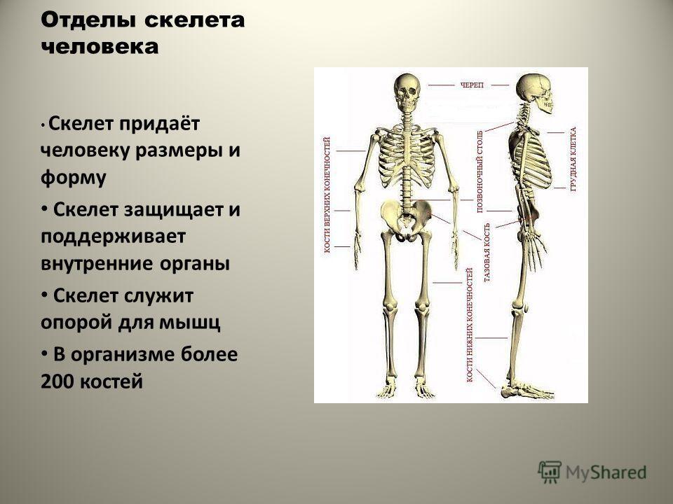 Отделы скелета человека Скелет придаёт человеку размеры и форму Скелет защищает и поддерживает внутренние органы Скелет служит опорой для мышц В организме более 200 костей