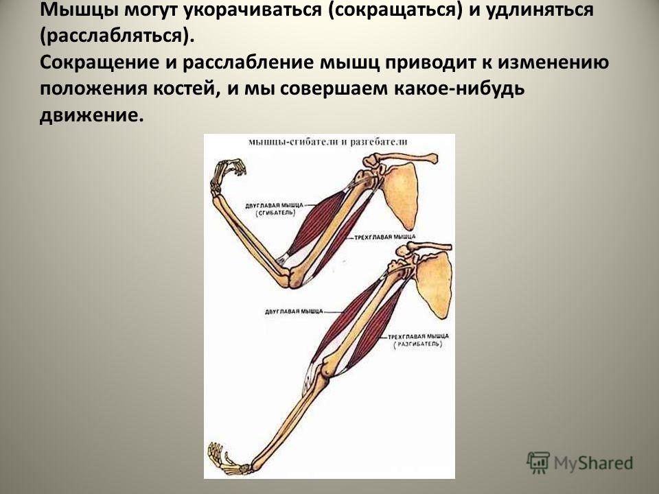Мышцы могут укорачиваться (сокращаться) и удлиняться (расслабляться). Сокращение и расслабление мышц приводит к изменению положения костей, и мы совершаем какое-нибудь движение.