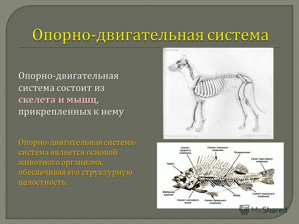 Опорно - двигательная система состоит из скелета и мышц, прикрепленных к нему Опорно - двигательная система - система является основой животного организма, обеспечивая его структурную целостность.