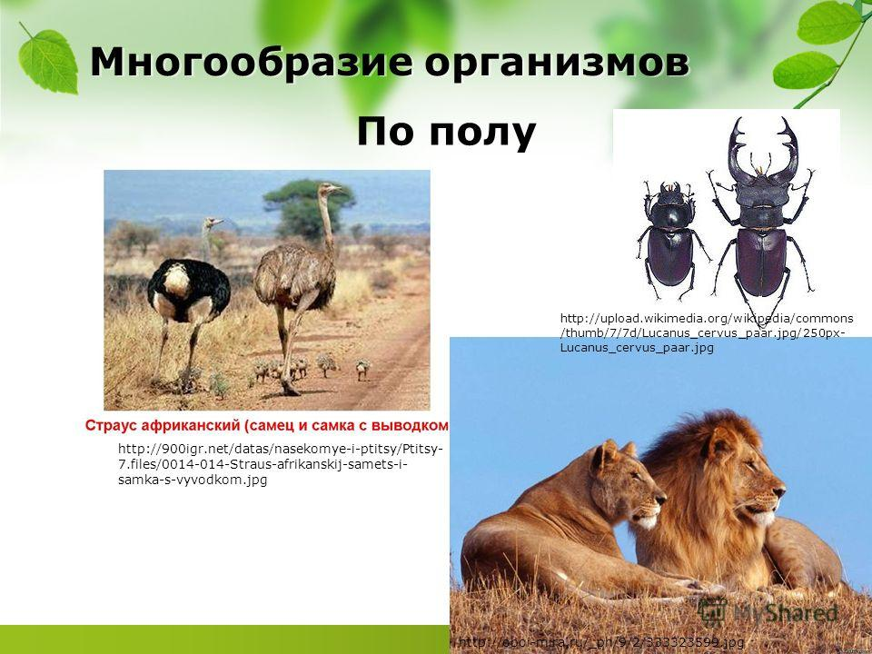 Многообразие организмов По полу http://900igr.net/datas/nasekomye-i-ptitsy/Ptitsy- 7.files/0014-014-Straus-afrikanskij-samets-i- samka-s-vyvodkom.jpg http://oboi-mira.ru/_ph/9/2/333323599. jpg http://upload.wikimedia.org/wikipedia/commons /thumb/7/7d