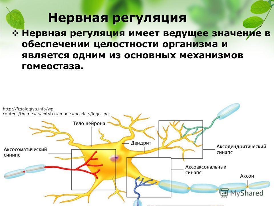 Нервная регуляция Нервная регуляция имеет ведущее значение в обеспечении целостности организма и является одним из основных механизмов гомеостаза. http://fiziologiya.info/wp- content/themes/twentyten/images/headers/logo.jpg