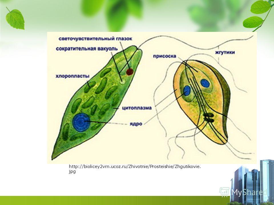 http://biolicey2vrn.ucoz.ru/Zhivotnie/Prosteishie/Zhgutikovie. jpg
