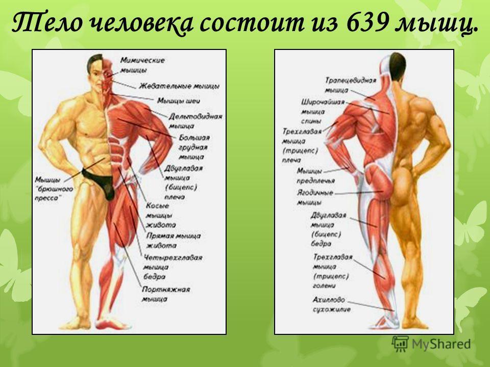 Тело человека состоит из 639 мышц.