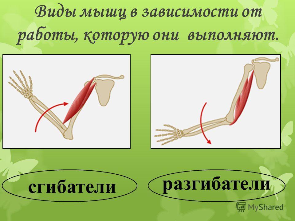 сгибатели разгибатели Виды мышц в зависимости от работы, которую они выполняют.
