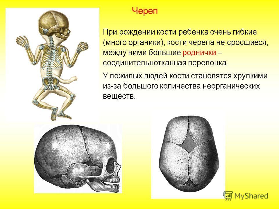Череп включает 23 кости. В состав мозгового отдела входят: парные кости височные и теменные; непарные кости лобная, затылочная, клиновидная и решетчатая. Затылочная кость имеет большое затылочное отверстие. В состав лицевого черепа входят парные и не