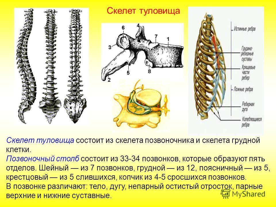 При рождении кости ребенка очень гибкие (много органики), кости черепа не сросшиеся, между ними большие роднички – соединительнотканная перепонка. У пожилых людей кости становятся хрупкими из-за большого количества неорганических веществ. Череп