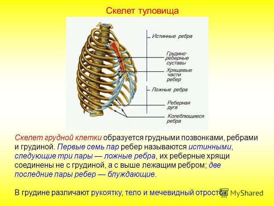 Первые позвонки в шейном отделе называются атлант и эпистрофей. Атлант имеет вид кольца с двумя мыщелками, тело атланта перешло на эпистрофей и образовало зубовидный отросток. Скелет туловища