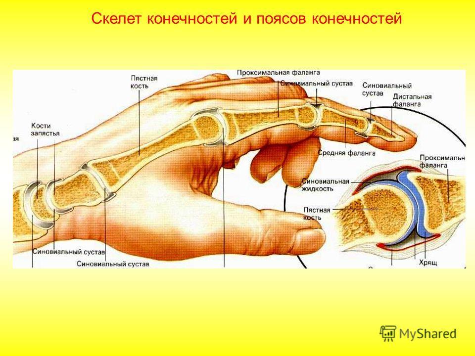 Скелет верхней конечности: состоит из скелета свободной верхней конечности: плечевой кости, костей предплечья локтевой и лучевой, запястья (8 косточек), пясти и фаланг пальцев. Скелет плечевого пояса: состоит из парных лопаток и ключиц. Скелет конечн