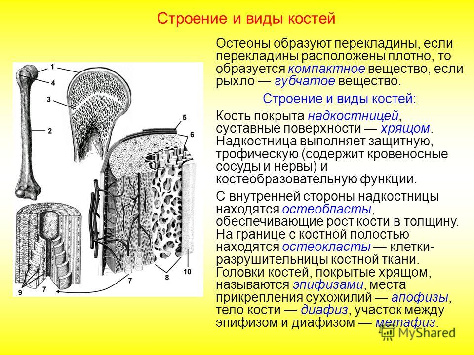 Строение и виды костей Различают компактное вещество костной ткани (тело кости) и губчатое вещество (в головках костей). Строение и виды костей: Кость покрыта надкостницей, суставные поверхности хрящом. Надкостница выполняет защитную, трофическую (со