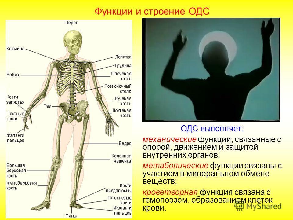 Делят на две основные группы: непрерывные и прерывистые. Непрерывные могут быть трех видов соединение с помощью соединительной ткани фиброзное соединение – синдесмоз (швы в в костях черепа, зубоальвеолярное соединение) роднички в черепе новорожденног