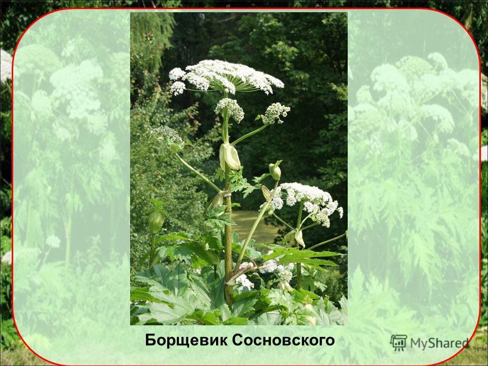 Доклад на тему борщевик сосновского 3412