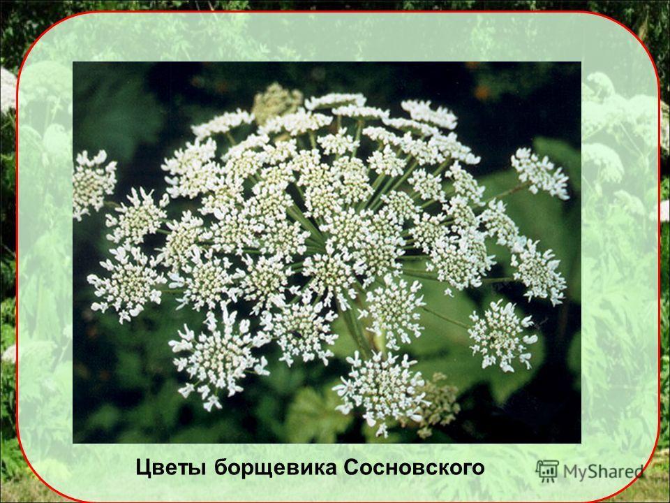 Цветы борщевика Сосновского