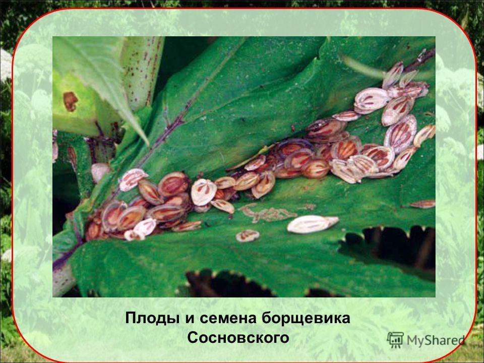Плоды и семена борщевика Сосновского