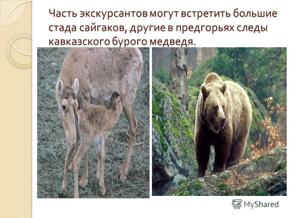 Часть экскурсантов могут встретить большие стада сайгаков, другие в предгорьях следы кавказского бурого медведя.