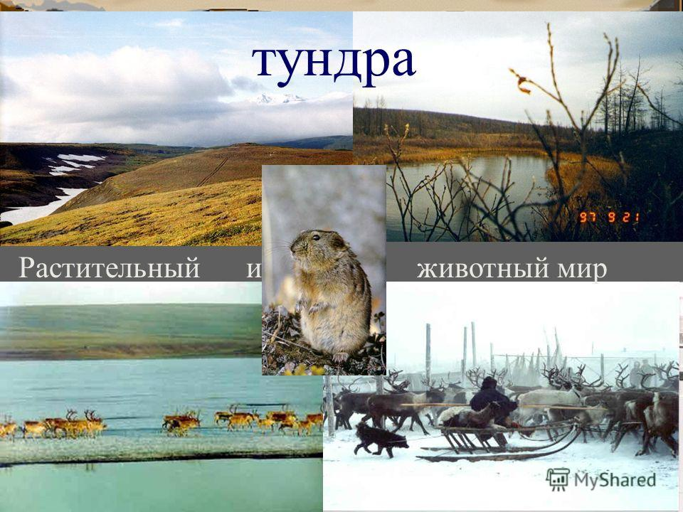 тундра животный мир Растительный и