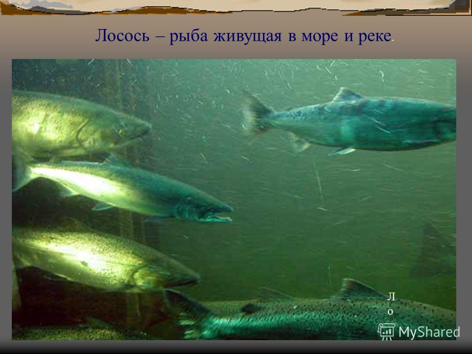 Ло Ло Лосось – рыба живущая в море и реке.