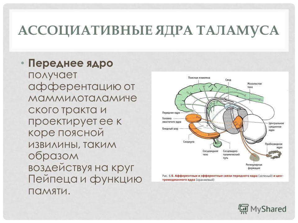 АССОЦИАТИВНЫЕ ЯДРА ТАЛАМУСА Переднее ядро получает афферентацию от маммилоталамиче ского тракта и проектирует ее к коре поясной извилины, таким образом воздействуя на круг Пейпеца и функцию памяти.