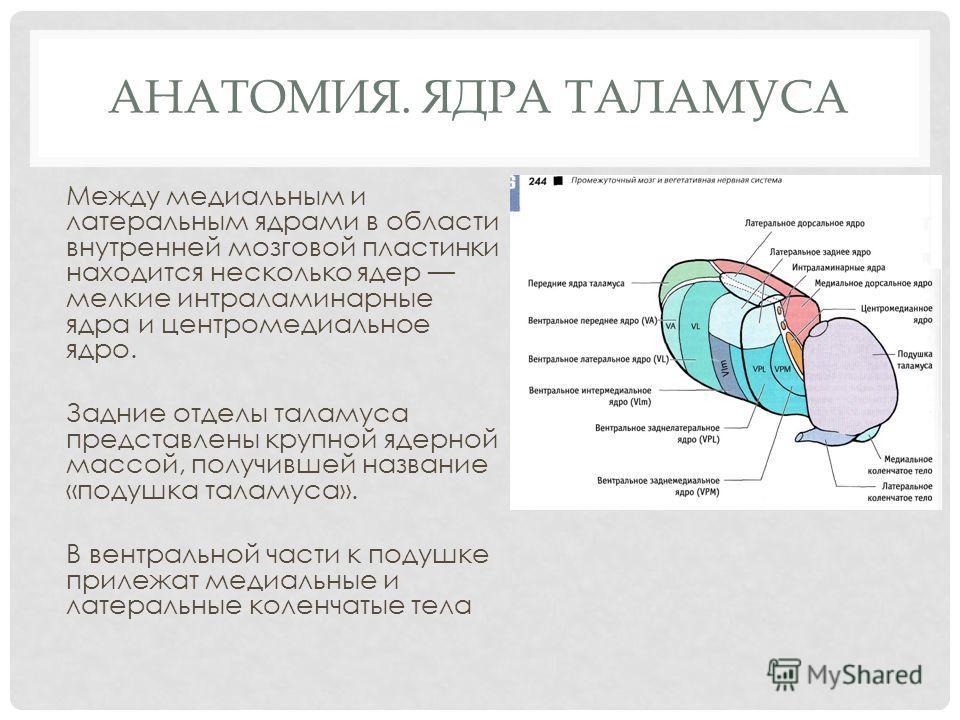 АНАТОМИЯ. ЯДРА ТАЛАМУСА Между медиальным и латеральным ядрами в области внутренней мозговой пластинки находится несколько ядер мелкие интраламинарные ядра и центромедиальное ядро. Задние отделы таламуса представлены крупной ядерной массой, получившей