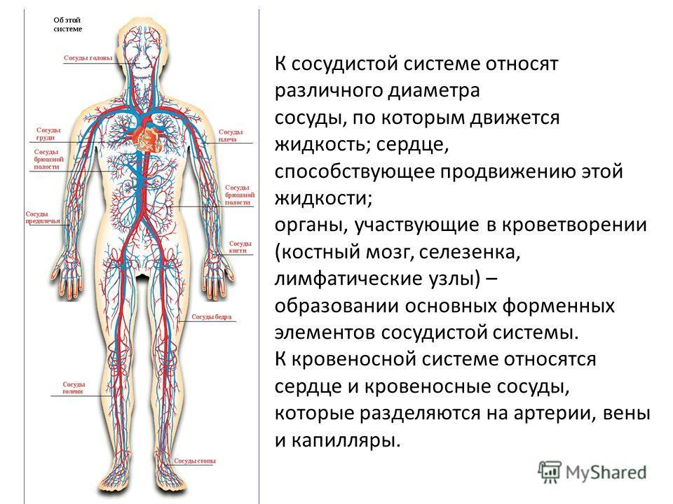 К сосудистой системе относят различного диаметра сосуды, по которым движется жидкость; сердце, способствующее продвижению этой жидкости; органы, участвующие в кроветворении (костный мозг, селезенка, лимфатические узлы) – образовании основных форменны