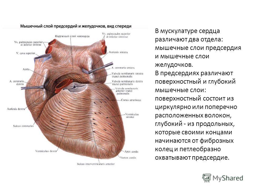 В мускулатуре сердца различают два отдела: мышечные слои предсердия и мышечные слои желудочков. В предсердиях различают поверхностный и глубокий мышечные слои: поверхностный состоит из циркулярно или поперечно расположенных волокон, глубокий - из про