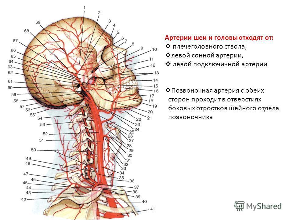 Артерии шеи и головы отходят от: плечеголовного ствола, левой сонной артерии, левой подключичной артерии Позвоночная артерия с обеих сторон проходит в отверстиях боковых отростков шейного отдела позвоночника