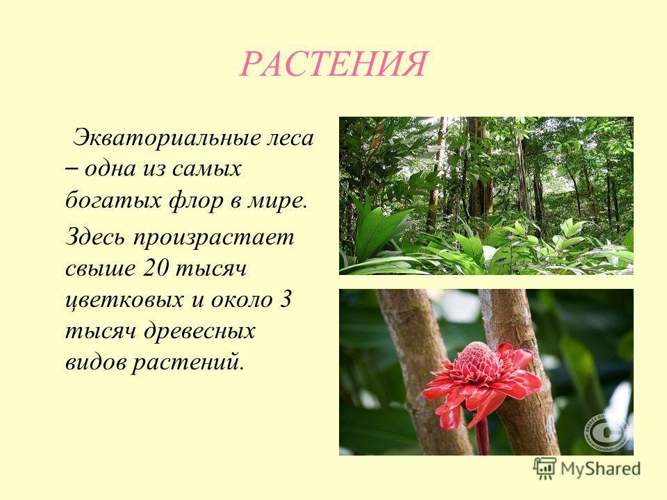 РАСТЕНИЯ Экваториальные леса – одна из самых богатых флор в мире. Здесь произрастает свыше 20 тысяч цветковых и около 3 тысяч древесных видов растений.