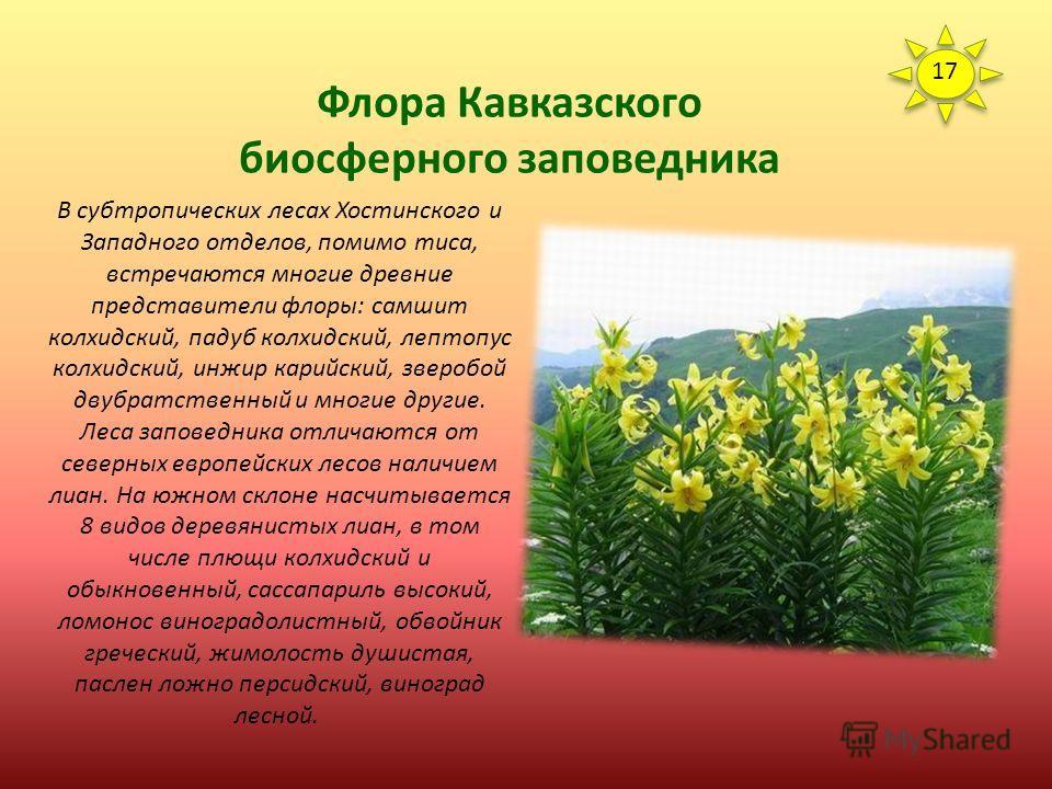 Флора Кавказского биосферного заповедника Практически по всему заповеднику единичными деревьями и небольшими группами встречается тис ягодный. Это древнее вечнозеленое хвойное дерево способно доживать до 2-2,5 тыс. лет, и такие патриархи - не редкост