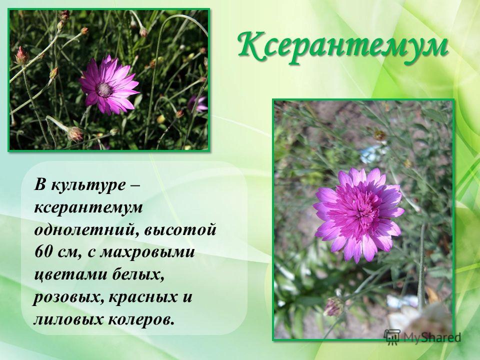 Ксерантемум В культуре – ксерантемум однолетний, высотой 60 см, с махровыми цветами белых, розовых, красных и лиловых колеров.