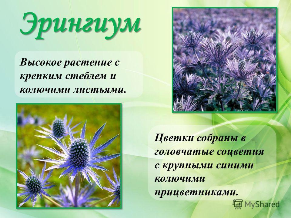 Эрингиум Высокое растение с крепким стеблем и колючими листьями. Цветки собраны в головчатые соцветия с крупными синими колючими прицветниками.