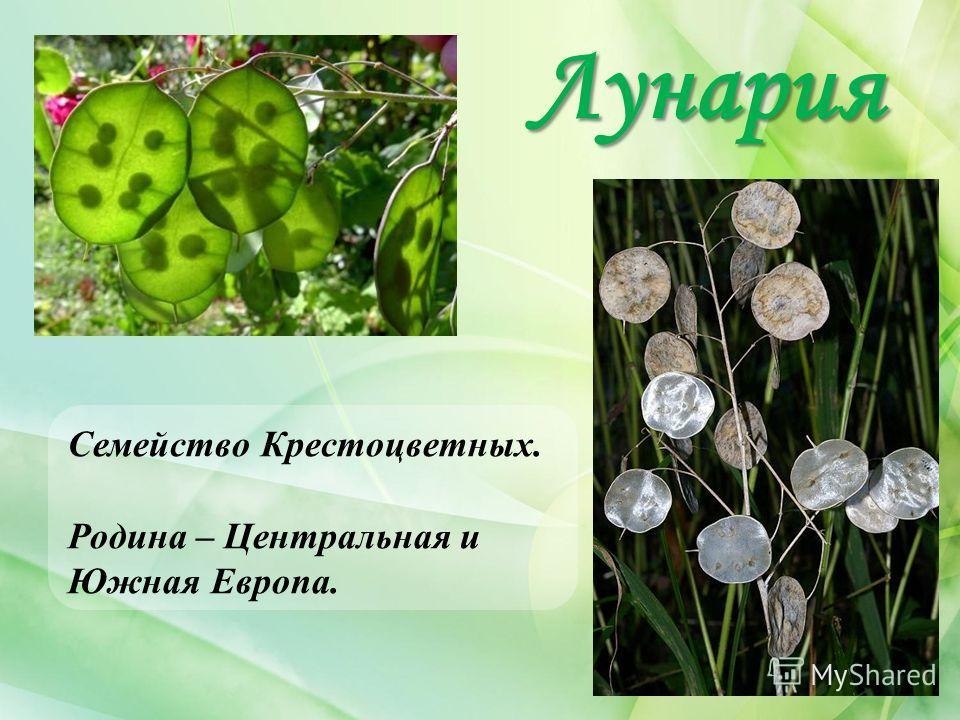 Лунария Семейство Крестоцветных. Родина – Центральная и Южная Европа.