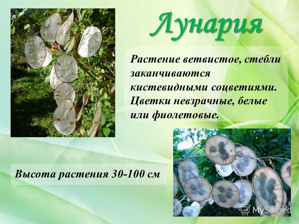 Лунария Высота растения 30-100 см Растение ветвистое, стебли заканчиваются кистевидными соцветиями. Цветки невзрачные, белые или фиолетовые.