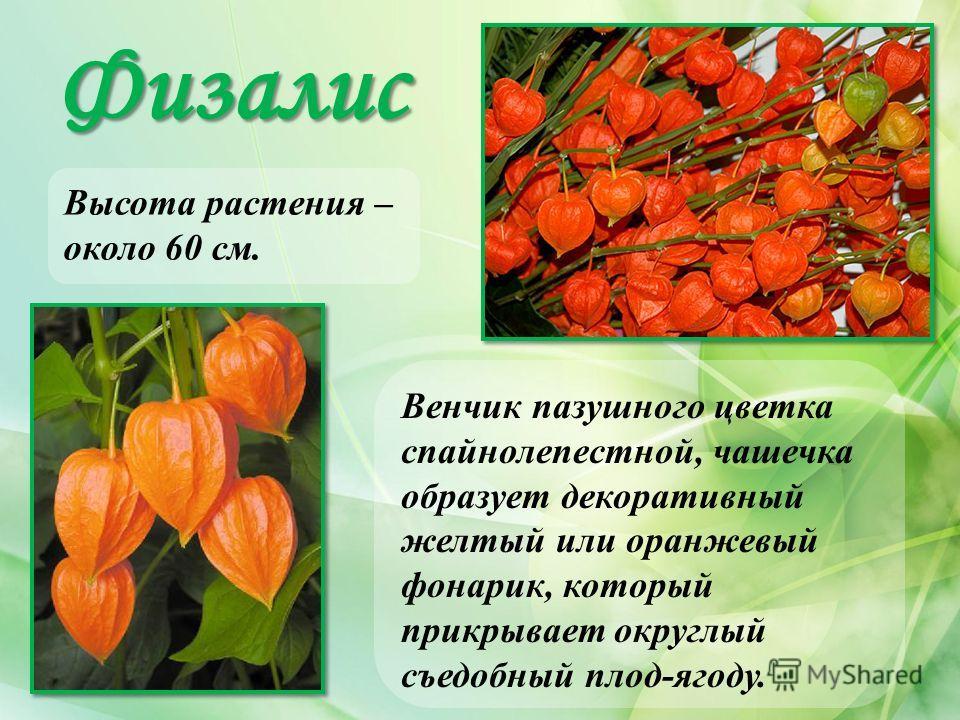 Физалис Высота растения – около 60 см. Венчик пазушного цветка спайнолепестной, чашечка образует декоративный желтый или оранжевый фонарик, который прикрывает округлый съедобный плод-ягоду.
