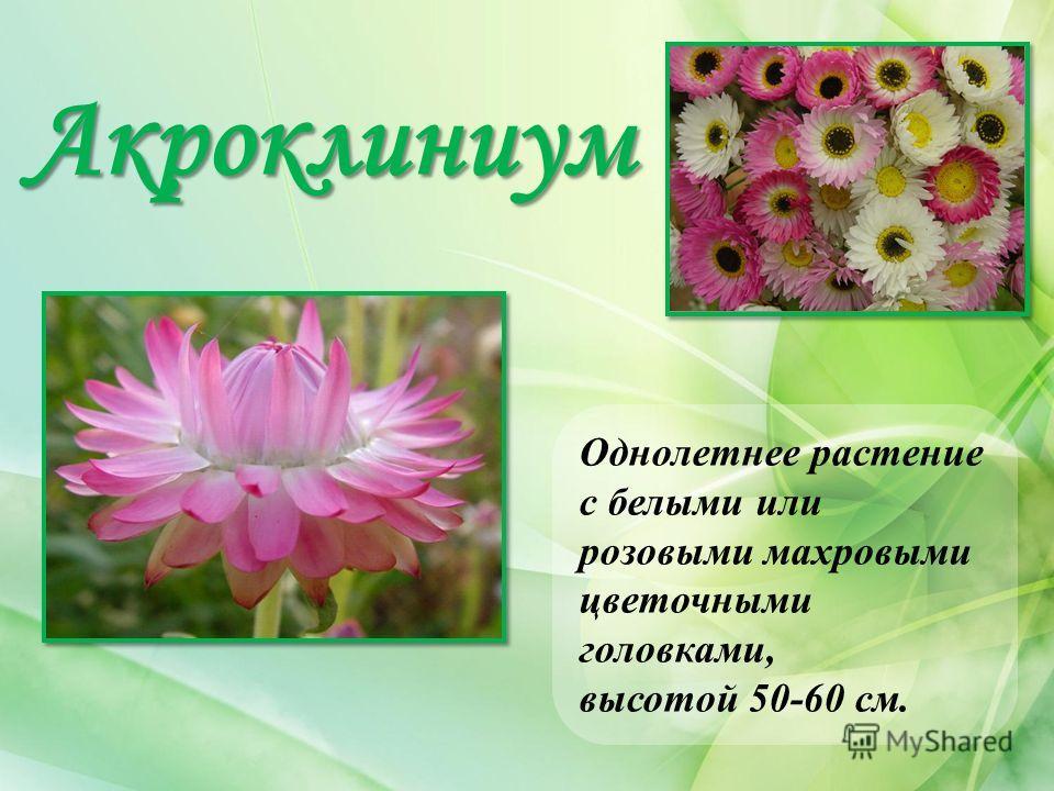 Акроклиниум Однолетнее растение с белыми или розовыми махровыми цветочными головками, высотой 50-60 см.