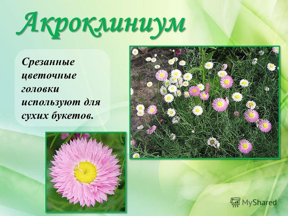 Акроклиниум Срезанные цветочные головки используют для сухих букетов.