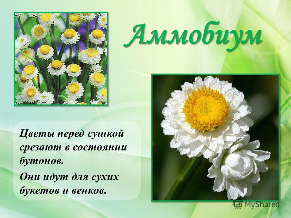 Аммобиум Цветы перед сушкой срезают в состоянии бутонов. Они идут для сухих букетов и венков.